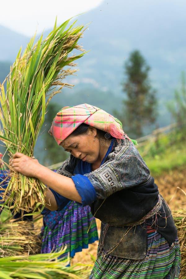 MU Cang Chai, Vietname - 17 de setembro de 2016: O retrato da mulher de Hmong da minoria colhe o arroz em campo de almofada terra imagem de stock royalty free