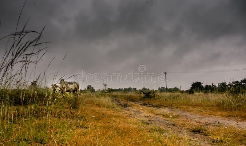 mucca fotografia stock libera da diritti