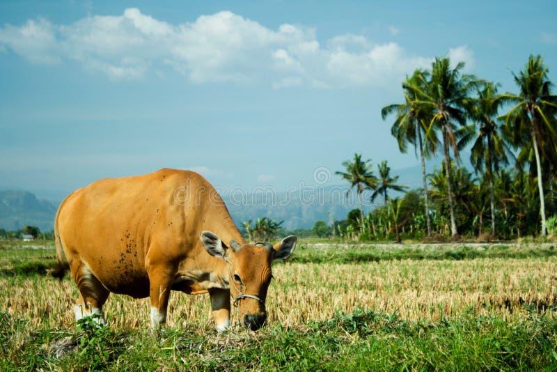 mucca immagini stock libere da diritti