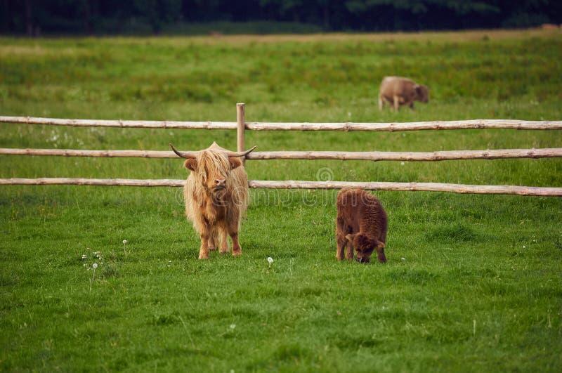 mucca fotografia stock
