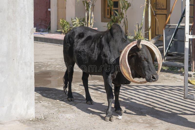Mucca affamata con il coperchio del bidone della spazzatura sulla via della città di Rishikesh, India immagini stock