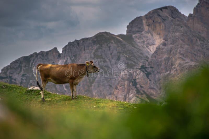 Mucca alpina in un medow in Italia fotografia stock libera da diritti
