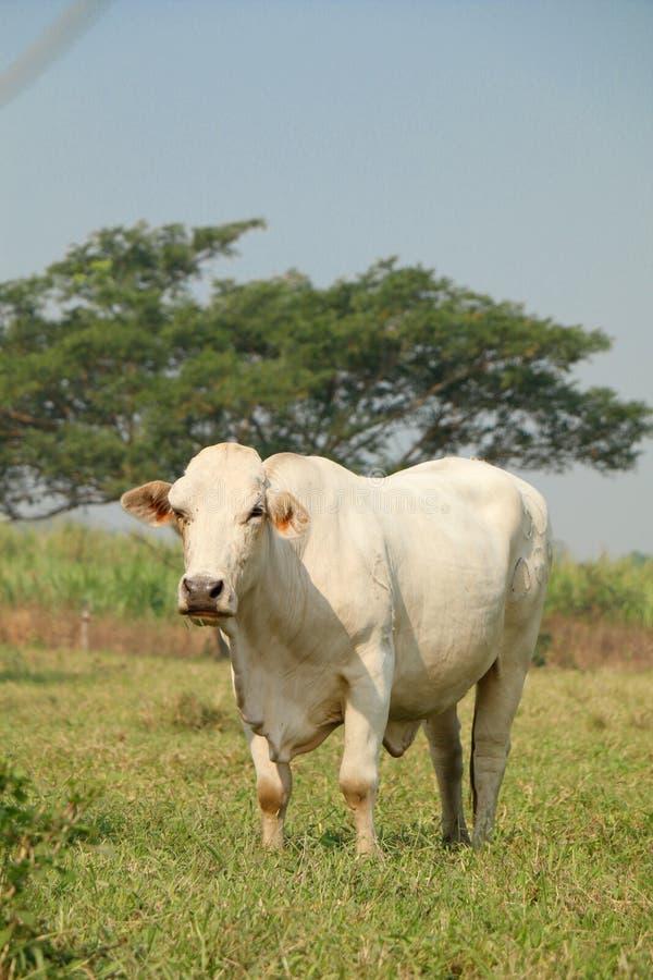 Mucca bianca fotografia stock