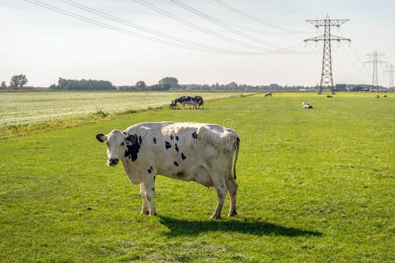 Mucca bianca con i punti neri nell'ambito delle linee ad alta tensione fotografie stock