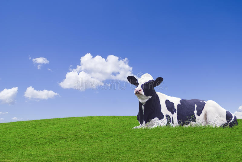 Mucca in bianco e nero immagine stock