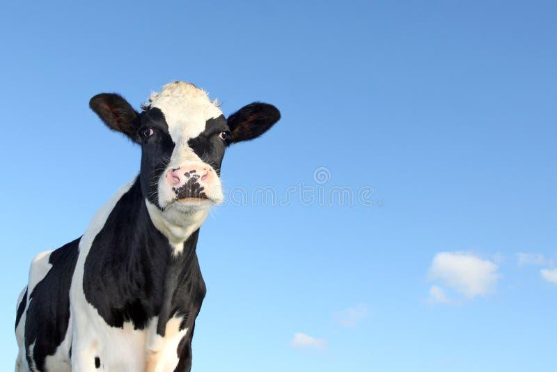 Mucca in bianco e nero fotografie stock