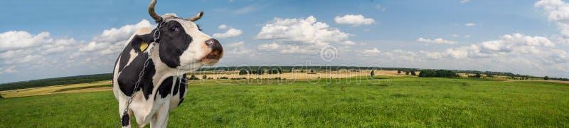 Mucca in bianco e nero in un paesaggio rurale fotografia stock