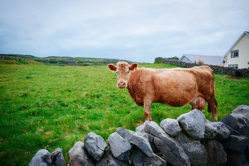 Mucca che esamina macchina fotografica, Irlanda fotografia stock libera da diritti