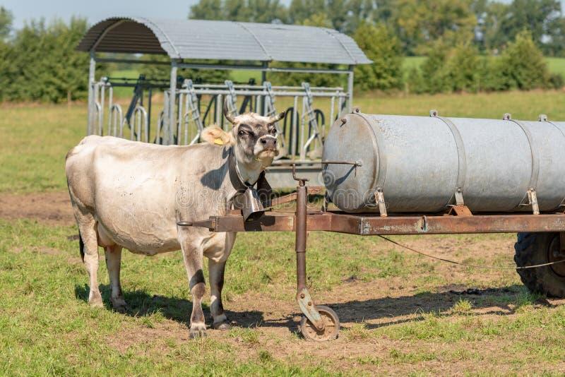 Mucca che isstanding in un pascolo ed in uno sguardo immagine stock