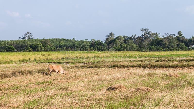 Download Mucca che mangia erba fotografia stock. Immagine di bestiame - 55362500