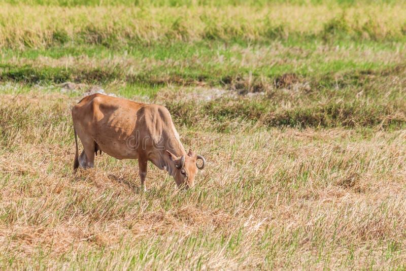 Download Mucca che mangia erba fotografia stock. Immagine di rurale - 55362548