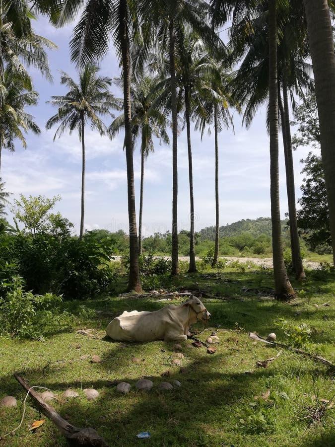 Mucca che riposa nell'ombra fornita dai cocchi fotografia stock libera da diritti