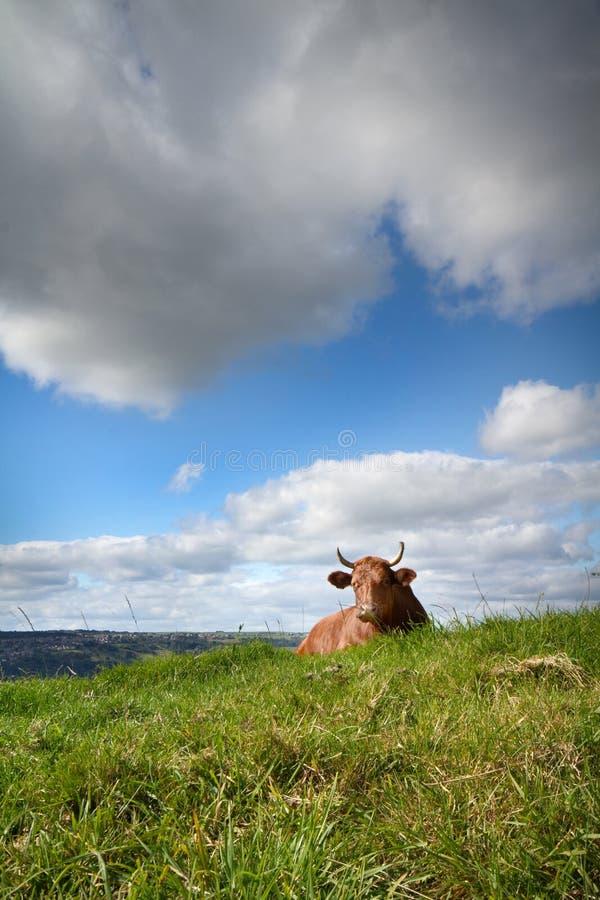 Mucca che si trova sull'erba fotografia stock libera da diritti