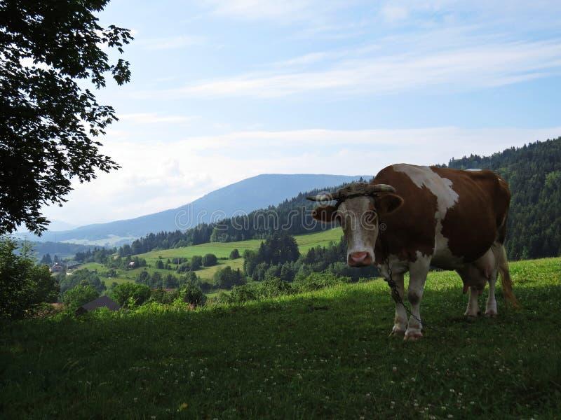 Mucca che sta sul prato della montagna con la vista alle belle montagne e nuvole fotografie stock
