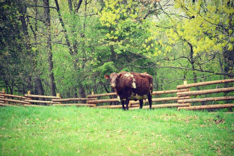 Mucca con il recinto fotografie stock