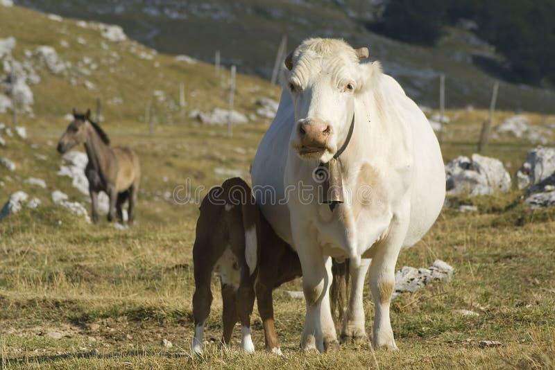 Mucca con il vitello fotografie stock