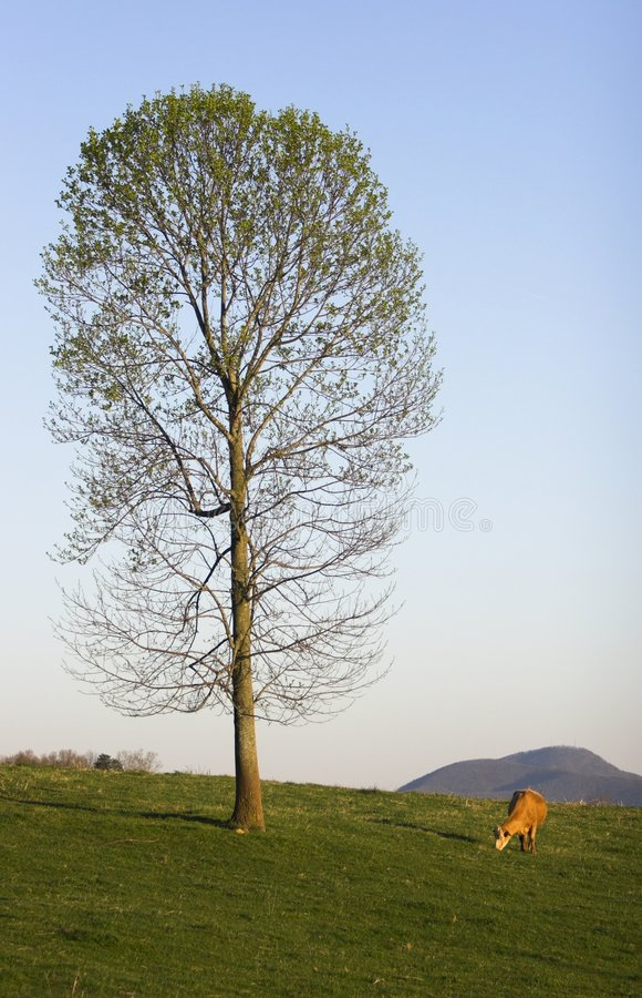 Mucca con l'albero immagini stock