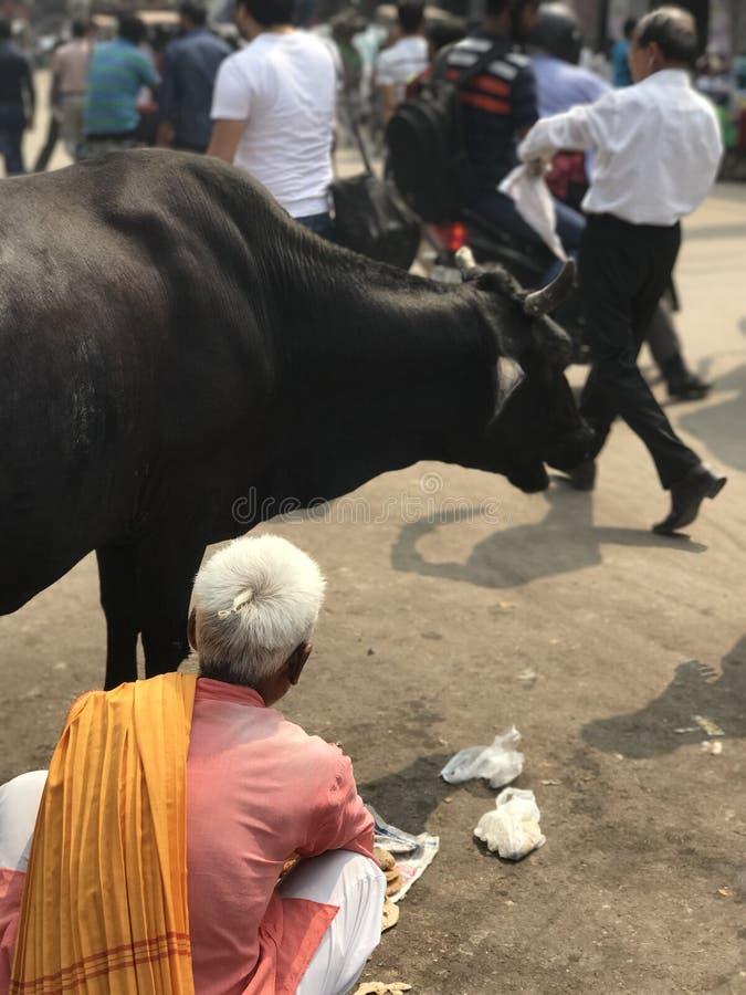Mucca con un uomo anziano in Dehli fotografie stock
