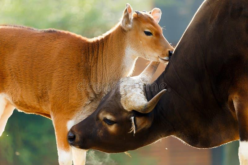 Mucca cornuta con il vitello sveglio fotografie stock