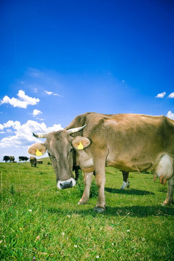 Mucca curiosa fotografia stock libera da diritti
