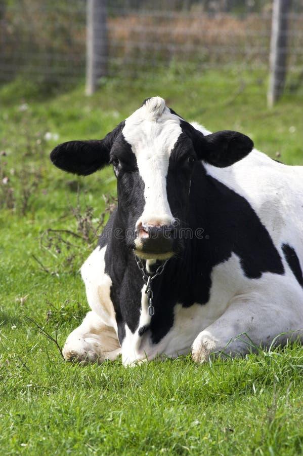 Mucca da latte fotografia stock
