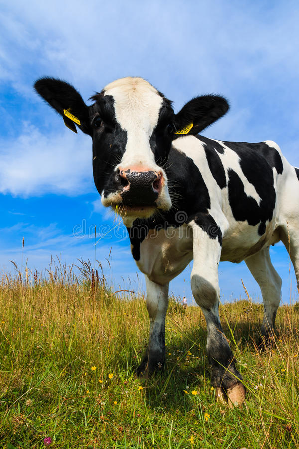 Mucca da latte adorabile che sta nel campo fotografie stock
