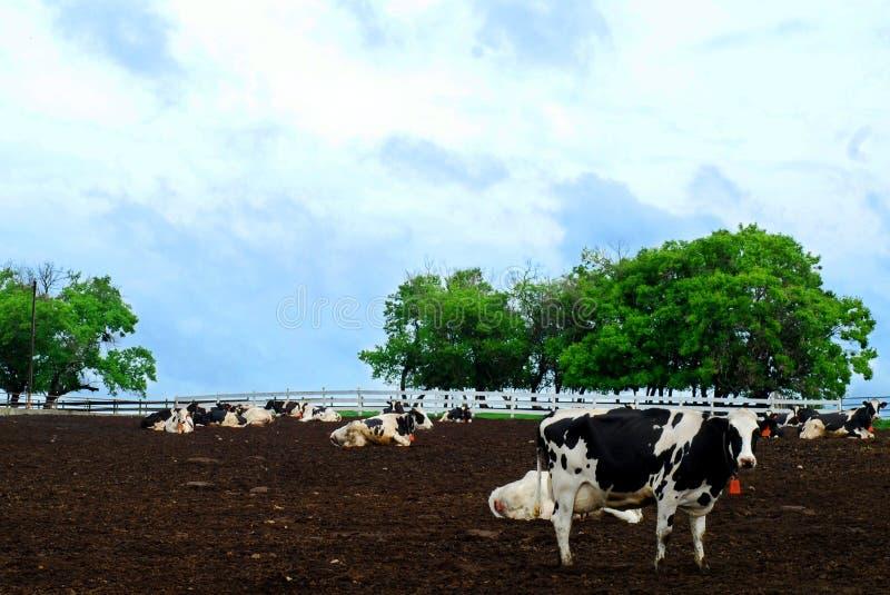 Mucca da latte sull'azienda agricola fotografia stock