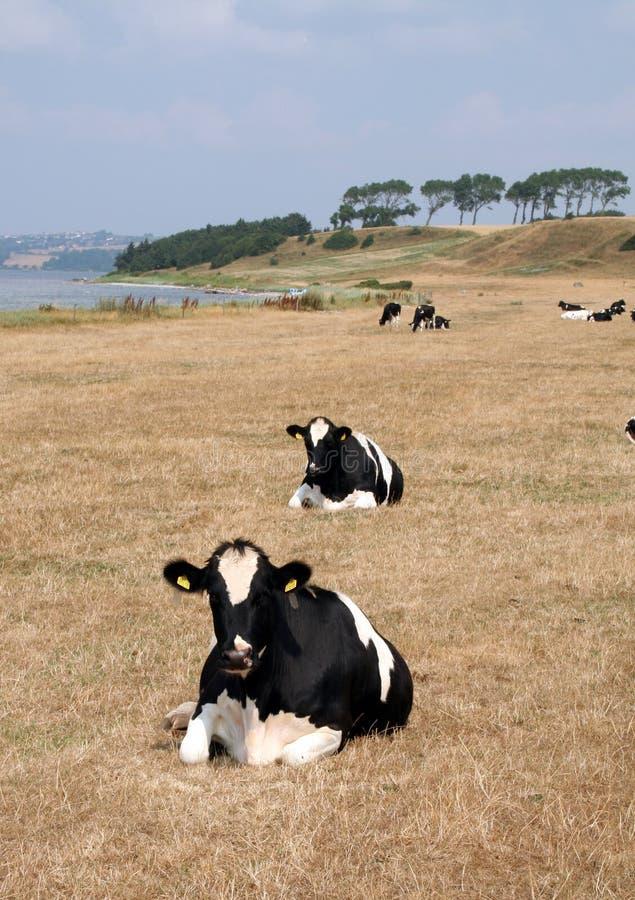 mucca da latte in un campo fotografia stock libera da diritti