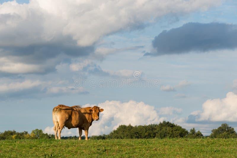 Mucca da macello di d'Aquitaine biondo su una sorveglianza del prato fotografia stock