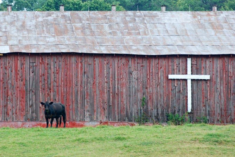 Mucca davanti al granaio con la traversa immagini stock libere da diritti