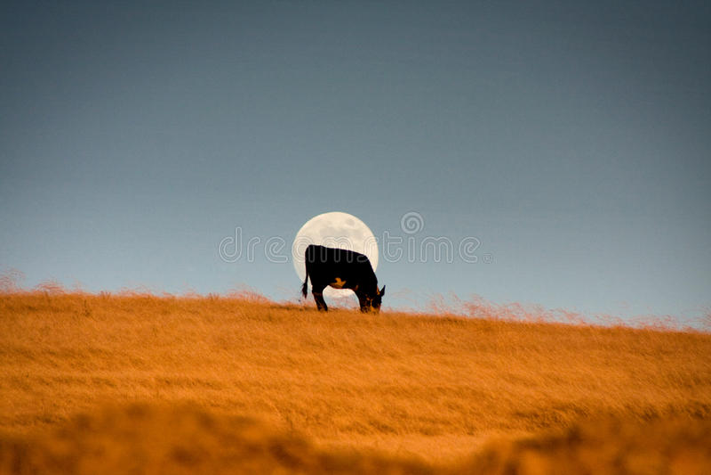 Mucca davanti alla luna fotografia stock