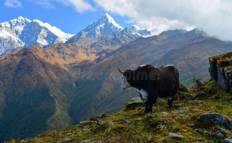 Mucca dei yak sulla montagna di Annapurna, Nepal immagine stock
