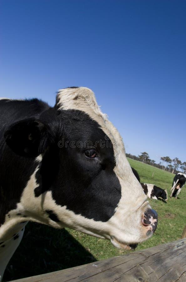 mucca del primo piano fotografie stock libere da diritti