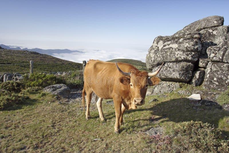Mucca dell'alta montagna fotografie stock