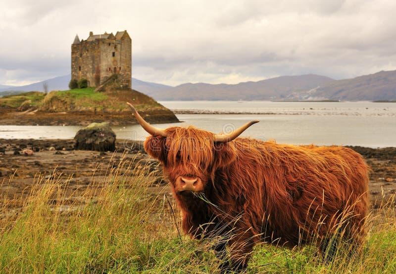 Mucca dell'altopiano, sul loch Linnhe, la Scozia fotografie stock