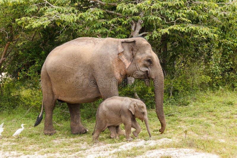 Mucca dell'elefante che cammina con l'elefante del bambino nel parco nazionale di Yala fotografia stock libera da diritti