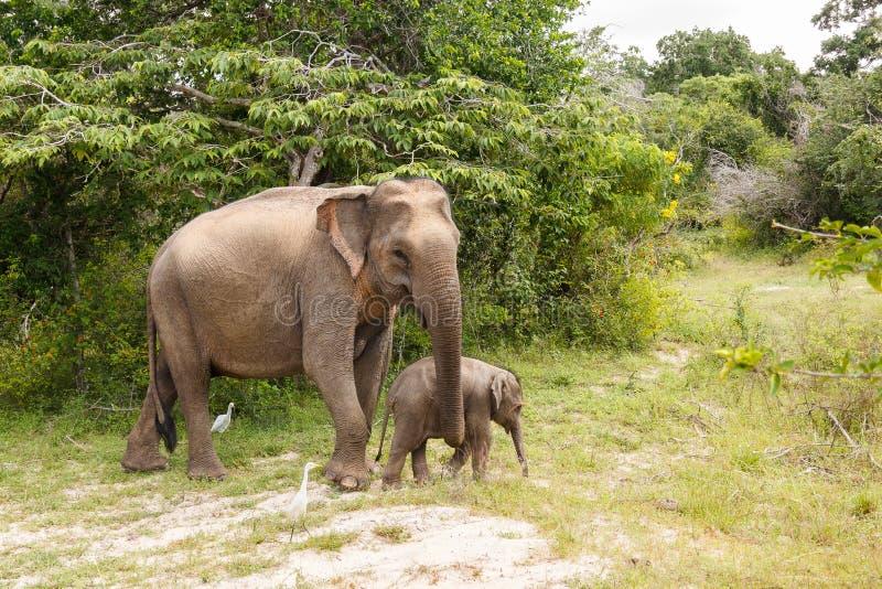 Mucca dell'elefante che cammina con l'elefante del bambino nel parco nazionale di Yala immagini stock