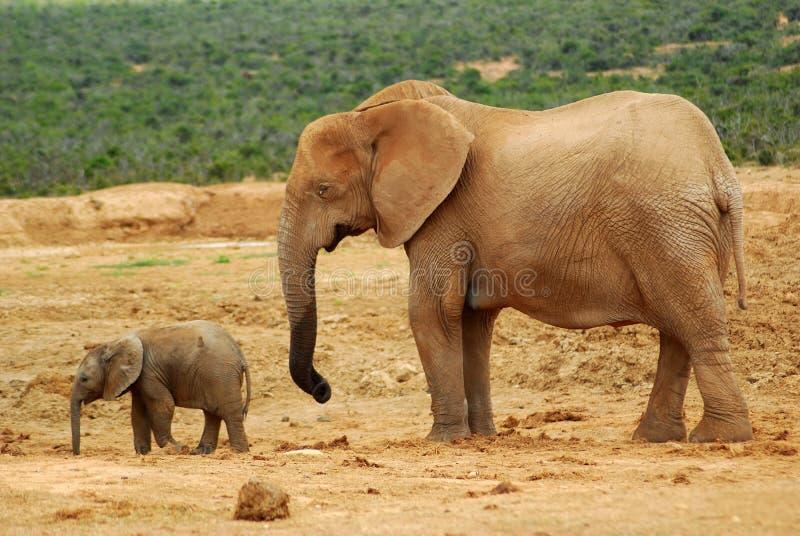 Mucca dell'elefante con il bambino fotografie stock