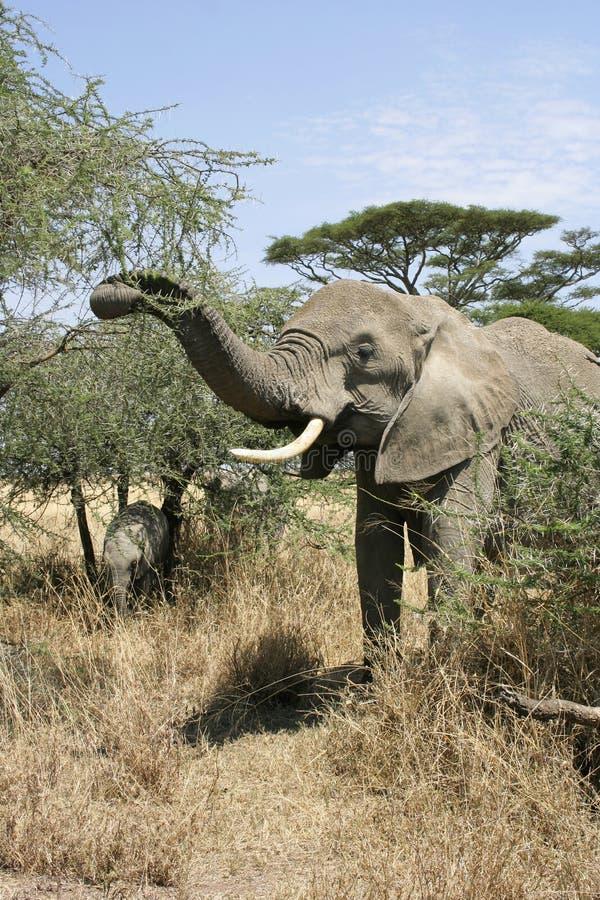 Mucca dell'elefante e vitello, parco nazionale di Serengeti, Tanzania fotografia stock