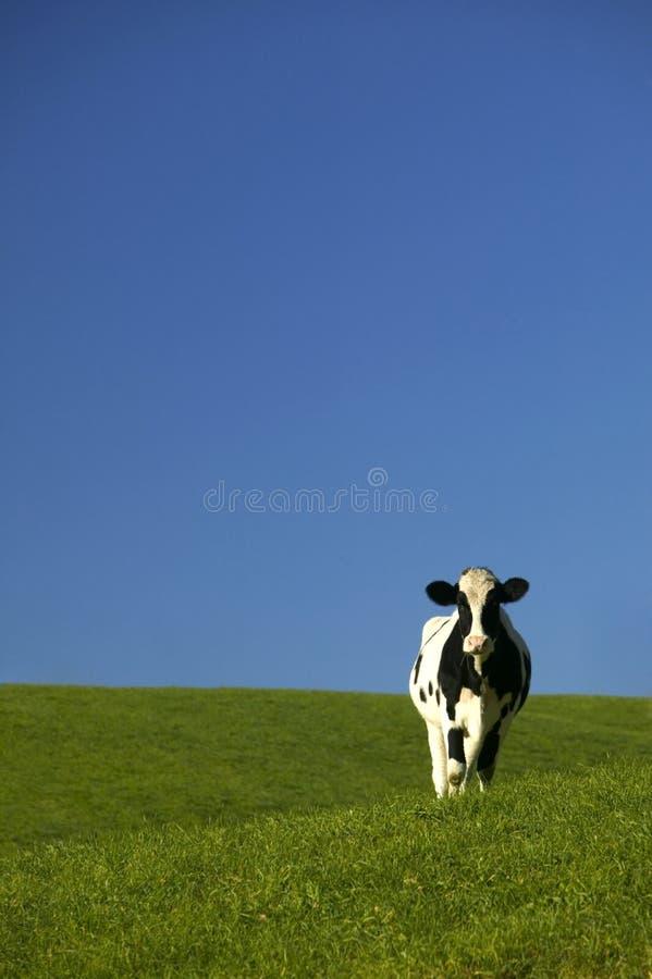 Mucca dell'Holstein nel campo verde con cielo blu immagine stock