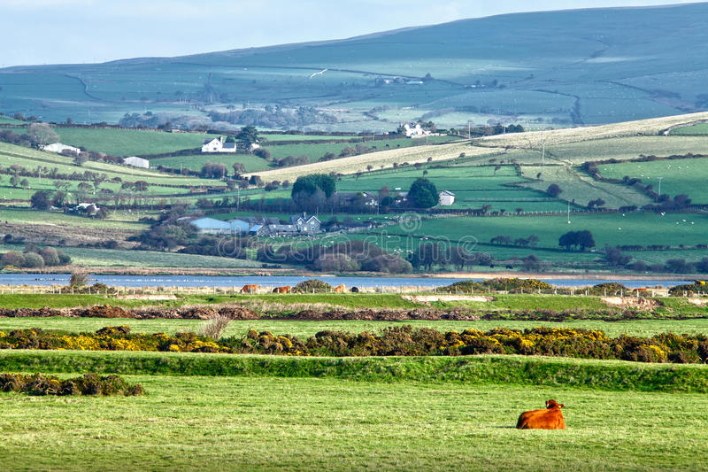 Mucca della campagna del galles lingua gallese fotografia for Piani di campagna in collina