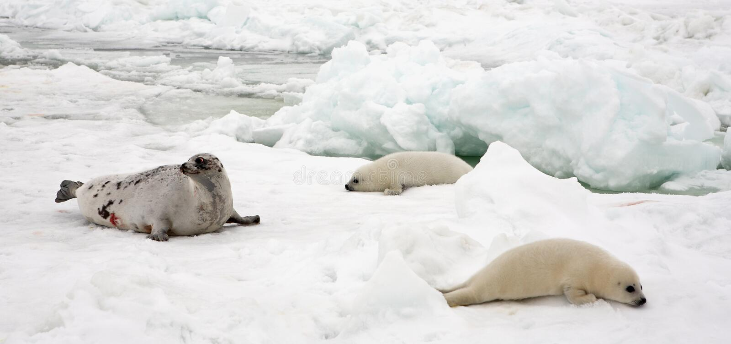 Mucca della foca della Groenlandia e cuccioli neonati su ghiaccio fotografia stock