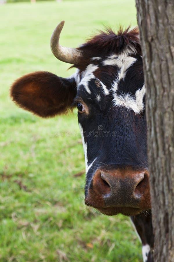 Mucca della Normandia che osserva fuori da dietro un albero fotografia stock