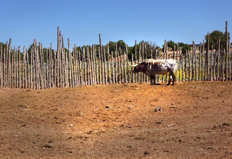 Mucca della mucca texana in recinto per bestiame rurale dei ceppi di Palo fotografia stock libera da diritti