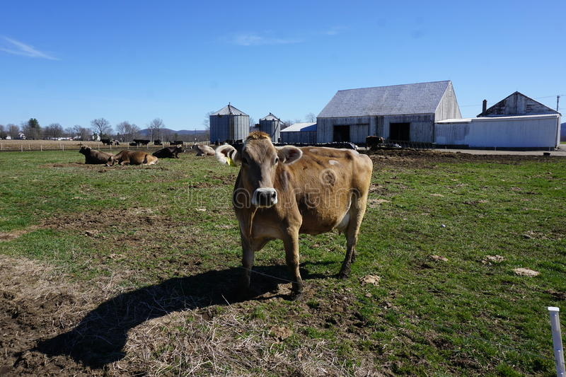 Mucca di Brown in azienda agricola fotografia stock libera da diritti