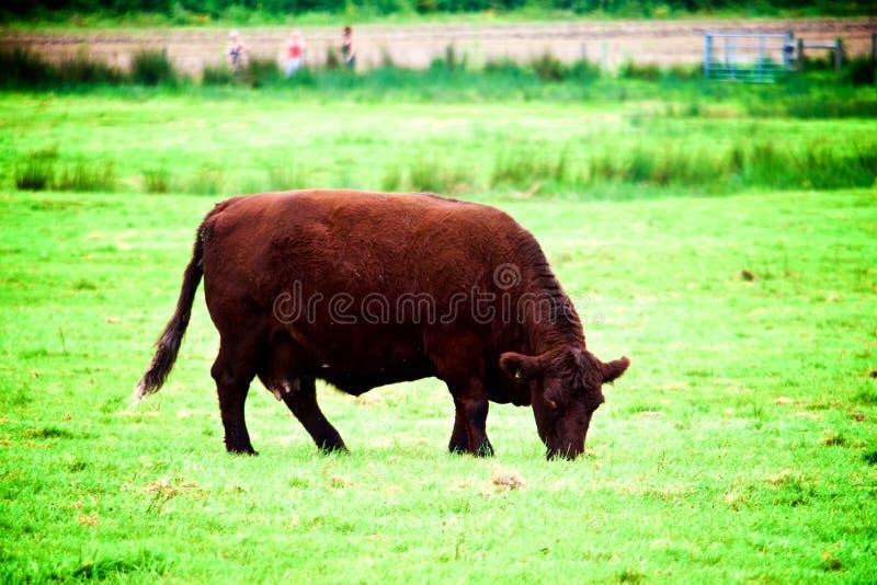 Mucca di Brown in un campo fotografia stock