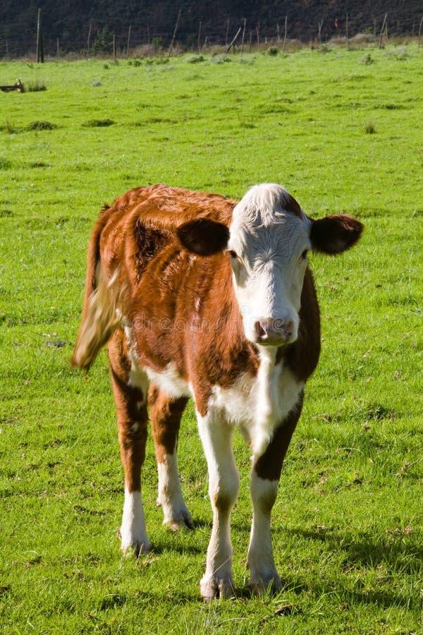 Mucca di Hereford immagini stock libere da diritti