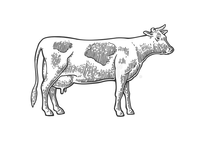 mucca Disegnato a mano in uno stile grafico Illustrazione d'annata dell'incisione per il grafico di informazioni, manifesto, web  royalty illustrazione gratis
