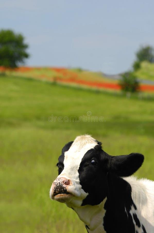 Mucca divertente fotografia stock