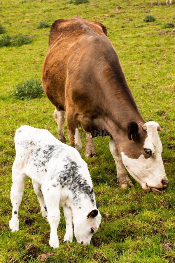 Mucca e vitello di Brown che pascono in un campo fotografia stock